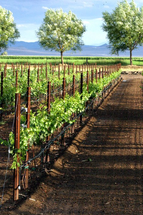 Grape vines growing at Churchill Vineyards.